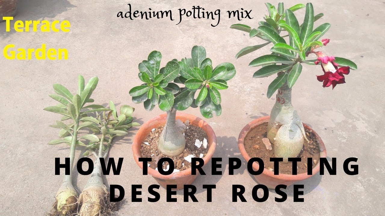 Roses In Garden: How To Repot Adenium Plant //Easily Care Desert Rose Plant