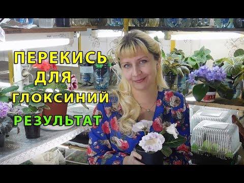 🌱ПЕРЕКИСЬ ДЛЯ ГЛОКСИНИЙ !!! РЕЗУЛЬТАТ ИСПОЛЬЗОВАНИЯ 🌱How to grow gloxinia from a tuber