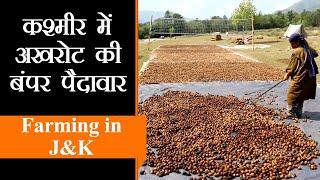 Kashmiri Walnut और Apple Growers के अच्छे दिन आये, बंपर पैदावार के चलते इस बार होगी धनवर्षा