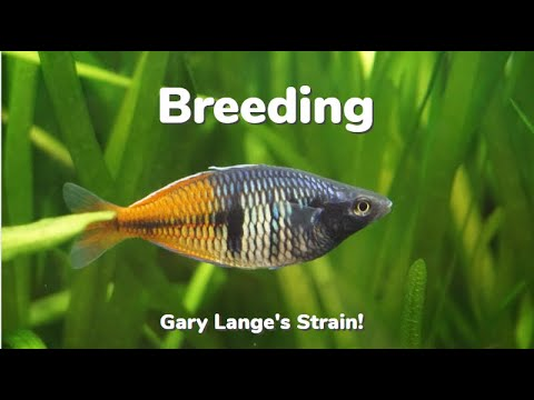 How To Breed Boesemani Rainbowfish: Gary Lange's Strain!