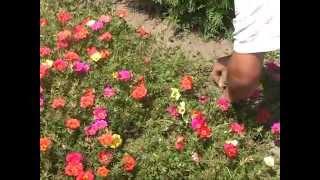 Covor de flori pe marginea soselei din Smeeni.