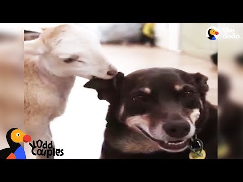 Dogs Love Their Rescue Cats, Lambs, and Bunnies | The Dodo Odd Couples