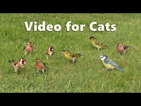 ASMR For Cats - Bird Sounds Relaxation