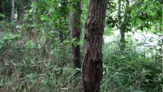 クワガタ採集の王道、蹴木採集のデモンストレーション動画です。 10分で...