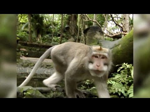 WILD: Boy Attacked By A Macaque - Indonesian Wild Monkey