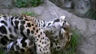 Jaguar - Sacramento Zoo