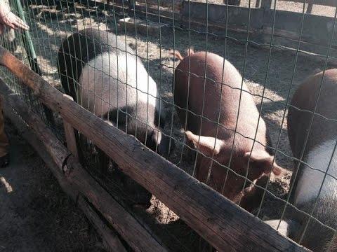 """Свиньи Красно-поясной породы. Фермерское хозяйство """"Kamadhenu"""""""