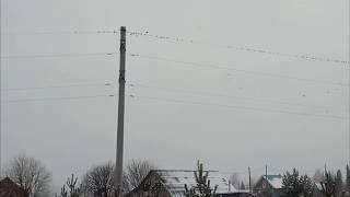 Редкие кадры. Массовое скопление птиц на проводах ЛЭП