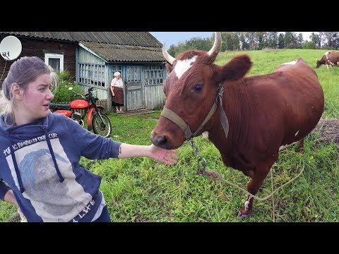 Стыдно вести коров по деревне. Подсобное хозяйство. Коровы на пастбище