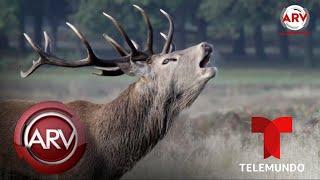 ciervos-zombies-podran-propagar-enfermedad-mortal-a-los-humanos-al-rojo-vivo-telemundo
