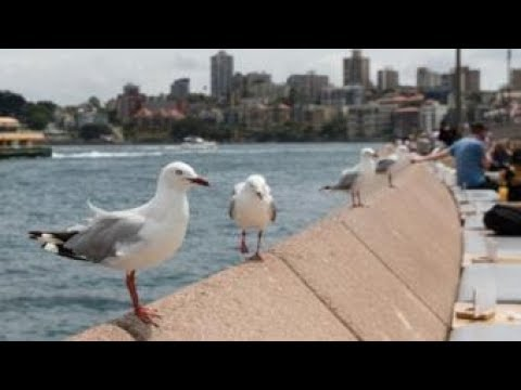 Australian seagulls carry antibiotic-resistant superbugs