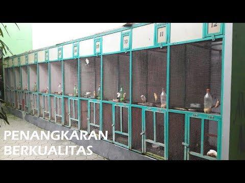 Penangkaran Burung Jalak Berkualitas di Klaten