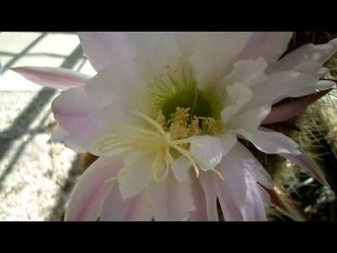 Trichocereus spachianus Cactus plant in pink bloom at Dublin Botanic Gardens.