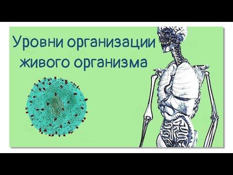 Уровни организации живого организма или человек-конструктор | Тело человека