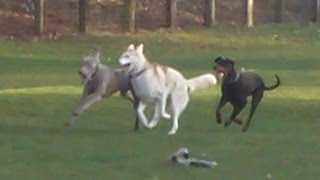 Doberman Dexter, Husky Rex And Weimaraner Sebastian At A & B Dogs Boarding & Training Kennels.