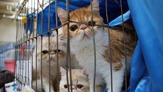 Выставка кошек и конкурс костюмов в Омске