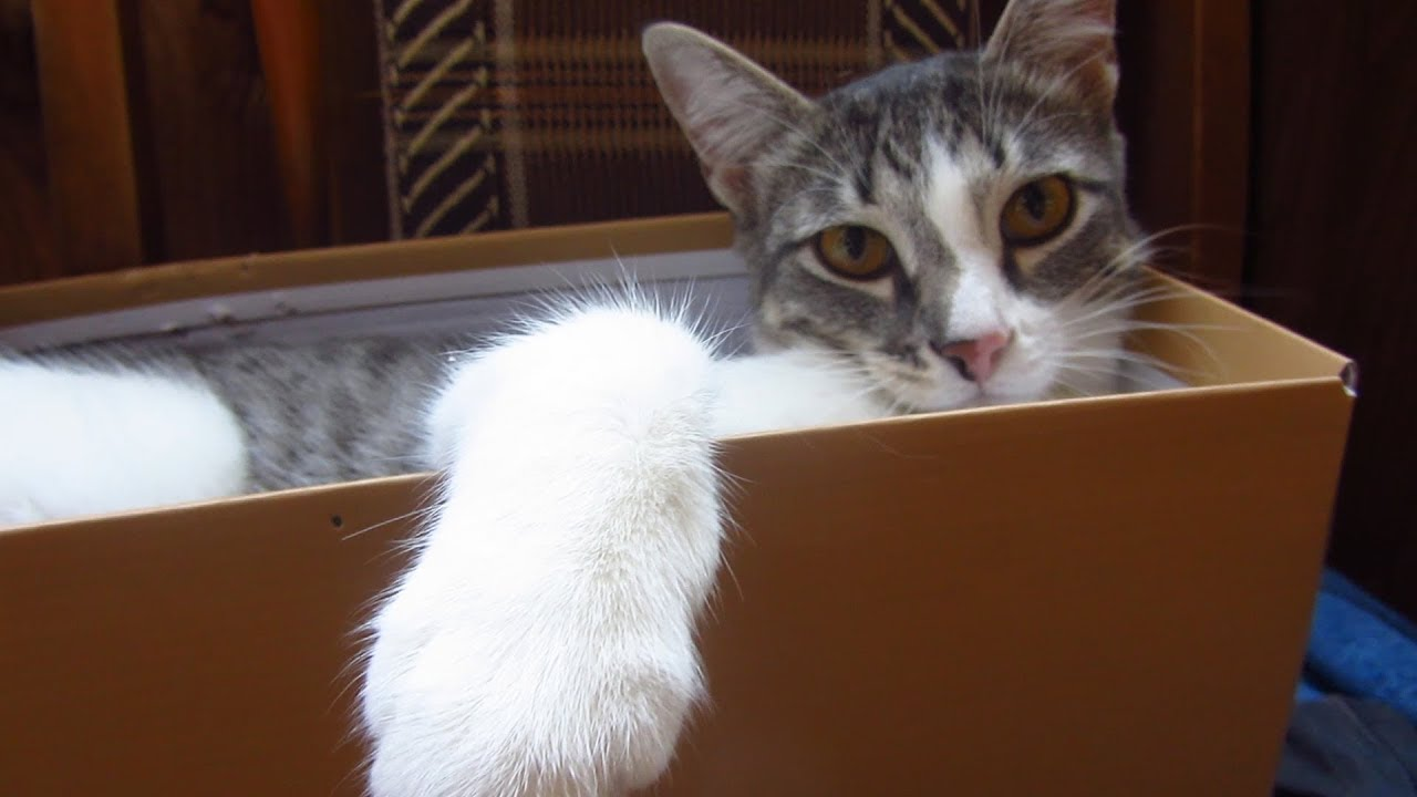 Cat Melissa Loves Boxes