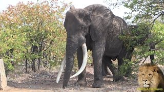 MASTHULELE. The Largest Elephant Tusker Alive! Amazing Footage.