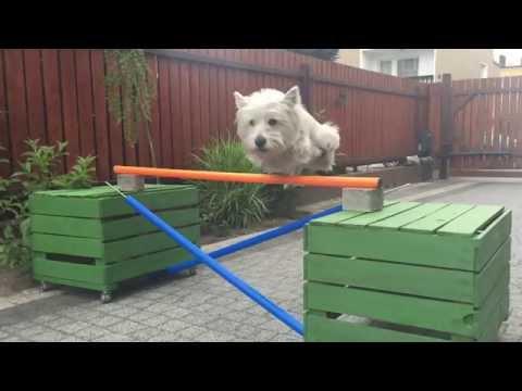 West Highland White Terier - Flicka, sztuczki, tricks :)