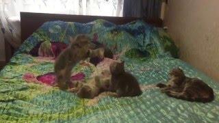 Шотландсие котята - мрамор на серебре