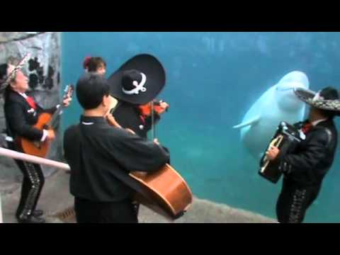 "Mariachi Connecticut plays ""El Jarabe Tapatío"" for Juno the beluga whale"