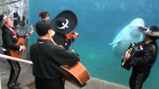"""Mariachi Connecticut plays """"El Jarabe Tapatío"""" for Juno the beluga whale"""