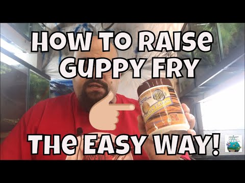 how-to-raise-guppy-fry-the-easy-way