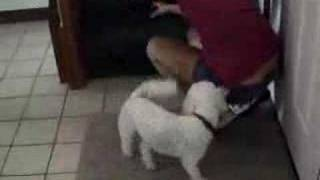 Barking Bichon-maltese Tamed By Bark Busters