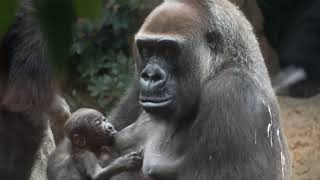 Breastfeeding of gorilla (two days after birth). Ueno Zoo.ゴリラの...