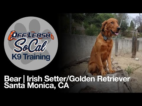 Bear | Golden Retriever/Irish Setter Mix | Santa Monica, CA
