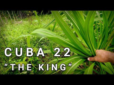 How To Plant Napier Grass - (Cuba 22, Pennisetum, King Grass x Elefant Hybrid)