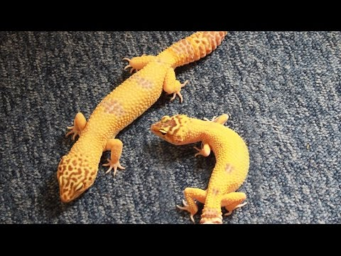 Housing Two or More Leopard Geckos Together