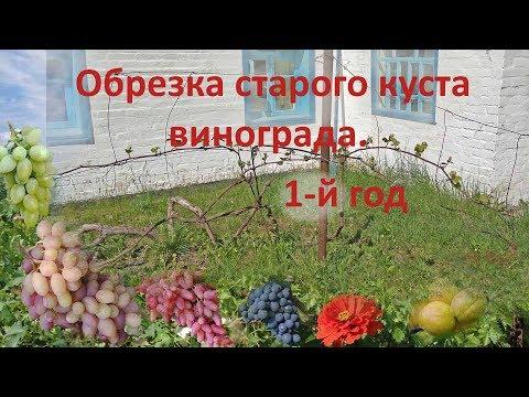 Обрезка старого винограда, обрезка запущенного винограда
