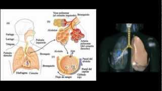 El Sistema Respiratorio - principales ca...