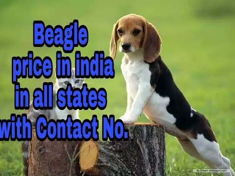 Beagle price in india in all States with Contact No. || price in india ||