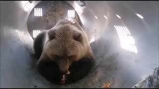 Заманили пирожками: подробности операции по захвату медведя-грабителя на Камчатке