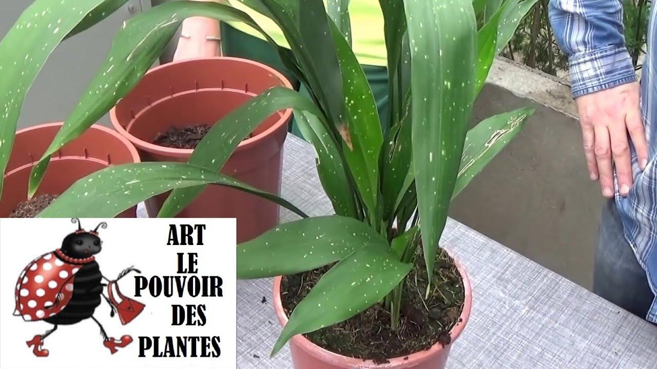 conseil jardinage: aspidistra: comment faire l'entretien et arrosage