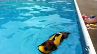 Dachshund Swims In A Pool And Has Trouble Exiting