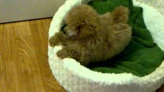 Toy Poodle Puppy Vs Westie Puppy