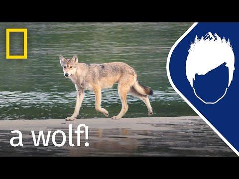 Sea Wolf Encounter (Episode 16) | wild_life with bertie gregory