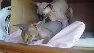 Сфинкс вяжет строптивую  кошку МОЛЛИ SDC17884