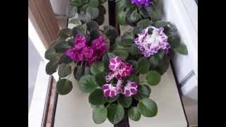 Fertilizante para Violetas Parte 3 Resultado Final