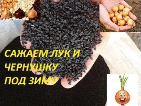Как сажать семена лука осенью