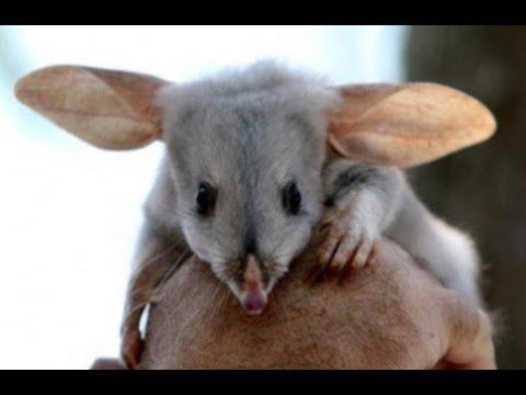 bilby greater bilby rabbit eared bandicoots from australia youtube