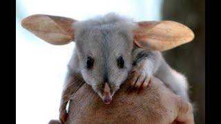 Bilby, Greater Bilby - Rabbit-Eared Bandicoots from Australia