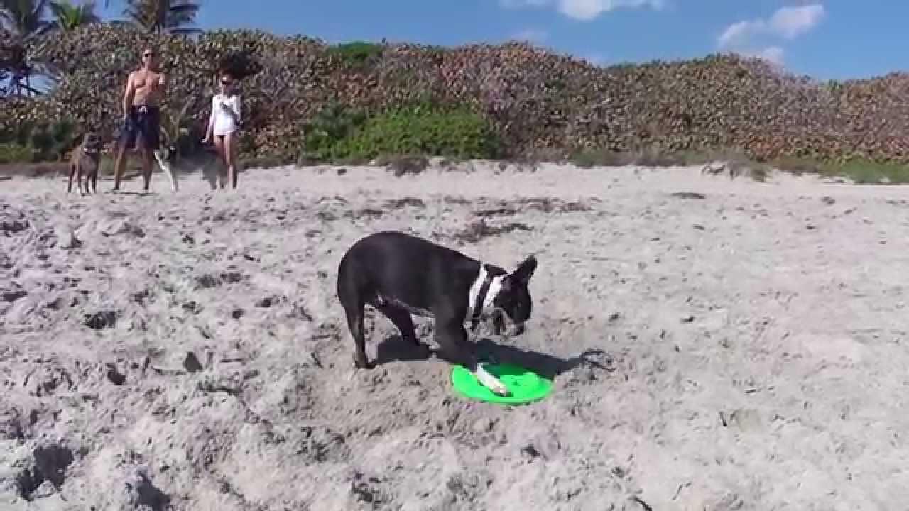8a8609258b0 Boston Terrier Izzy and the frisbee bostonský teriér na pláži - YouTube