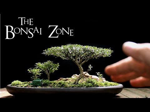The Bonsai Zone, Early Work on My Show Trees, Part 1, July 2017