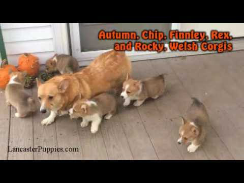 Welsh Corgi Puppies For Sale on Lancaster Puppies