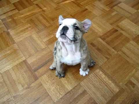Bulldog puppy funny bark - YouTube