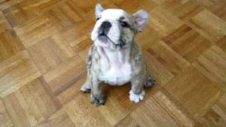 Bulldog Puppy Funny Bark